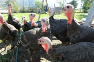Organic pasture raised turkeys